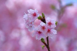 sakura-flower