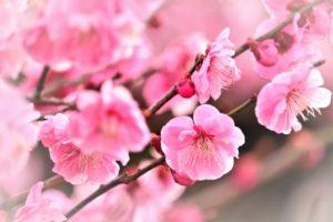 ume-flower